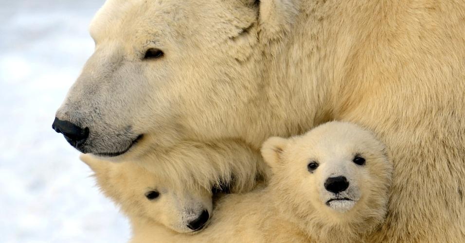 Urso polar fêmea protege dois de seus três filhotes no zoológico de Moscou, na Rússia