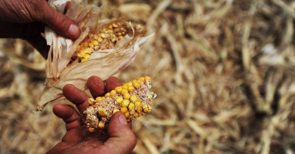 Agricultor mostra o pouco que restou de uma lavoura de milho na cidade de Boa Vista das Missões, no Rio Grande do Sul