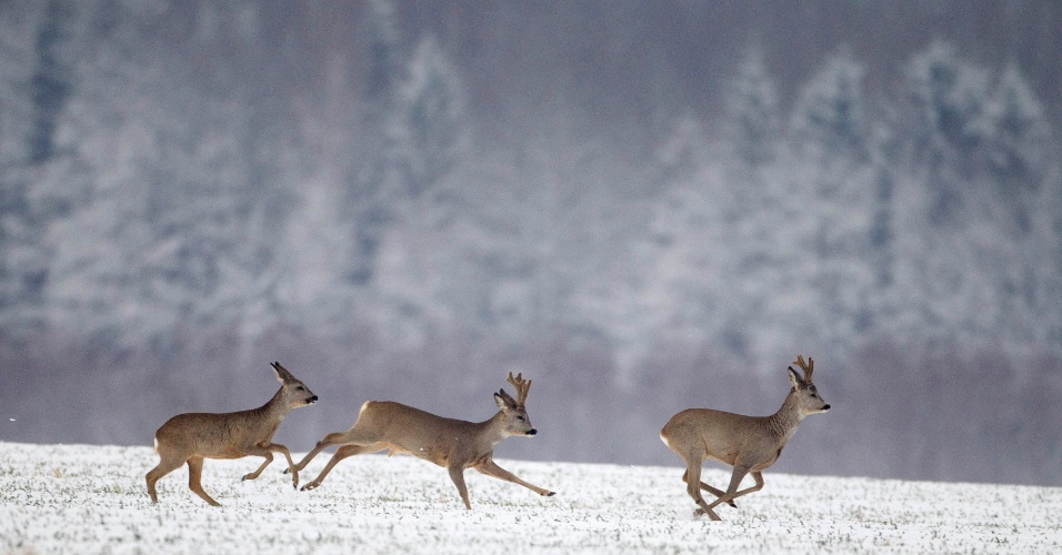 Corsos correm em campo após nevasca em Minsk, no Belarus