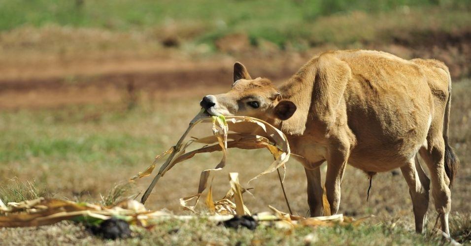 Vaca leitera sem pastagem, devido à seca que atinge o município de Constantina (RS), se alimenta do que sobrou de plantação