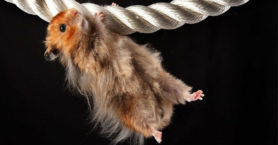 Hamster acrobata