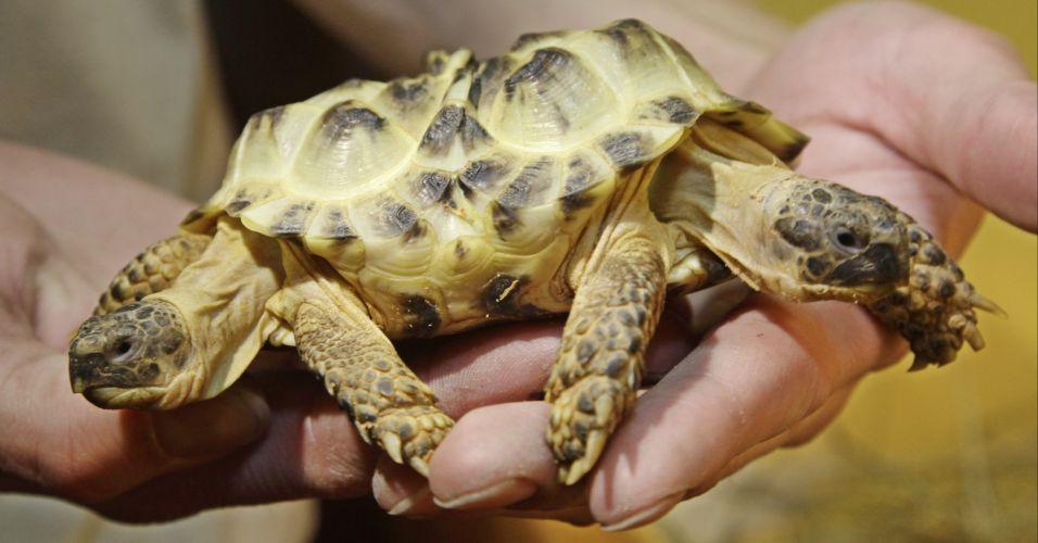 Tartaruga de duas cabeças
