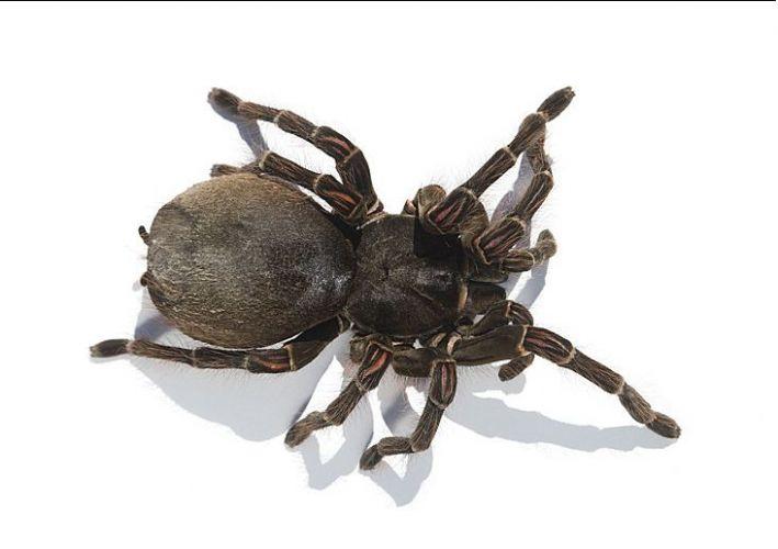 Maior aranha