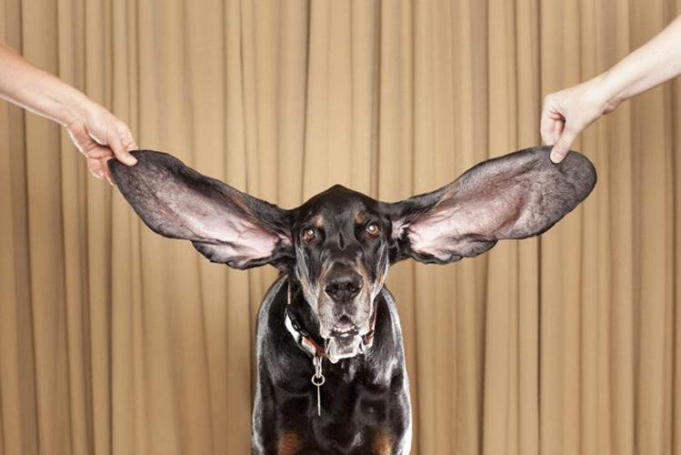 Cão com as maiores orelhas