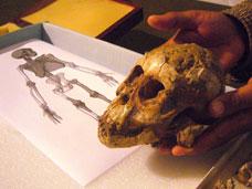 Cientista mostra o crânio do bebê australopiteco