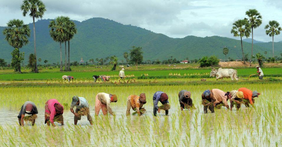 Colheita no Camboja