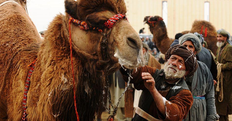 """Camelo """"cuspidor"""" no Afeganistão"""