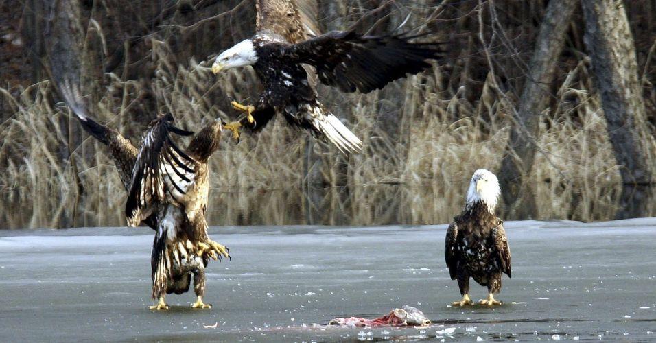 Águias nos EUA