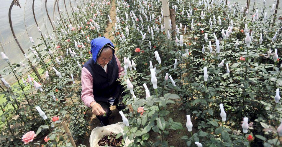Rosas na China