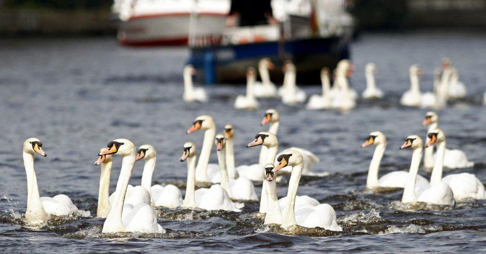Cisnes voltam à natureza
