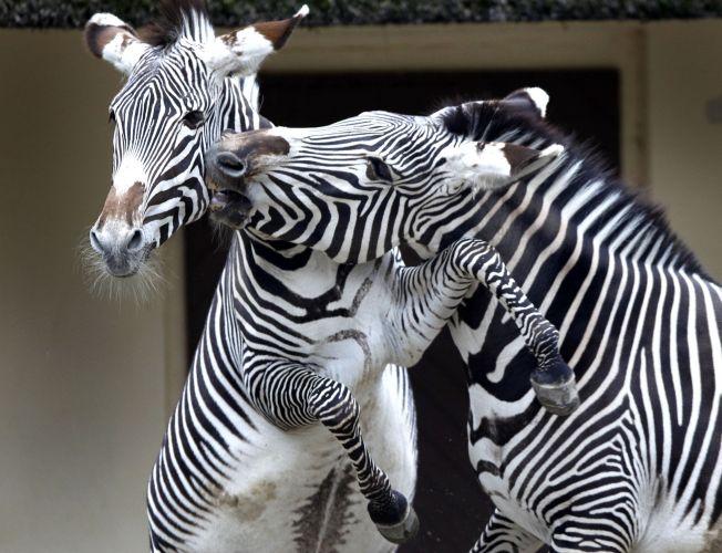 Zebras na Alemanha