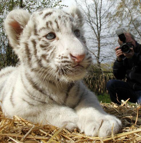 Filhote de tigre branco