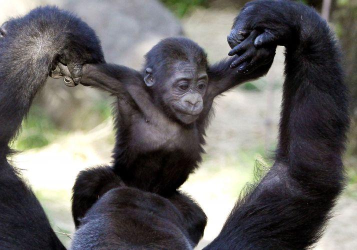 Brincadeira de gorila