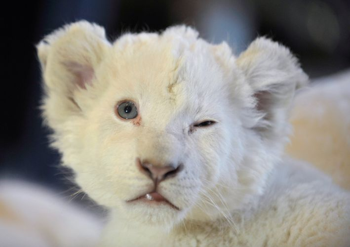 Leão branco bebê na Alemanha