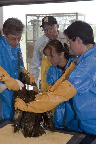 Pelicano sujo de óleo é limpo nos EUA