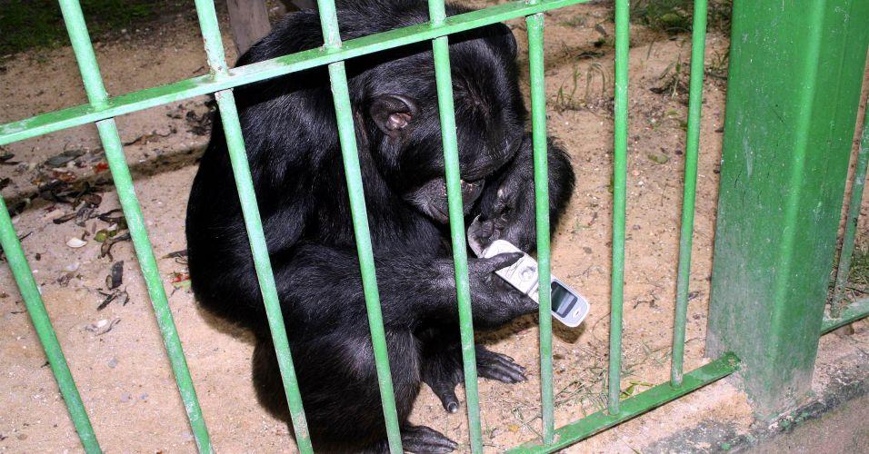 Chimpanzé é alvo de disputa