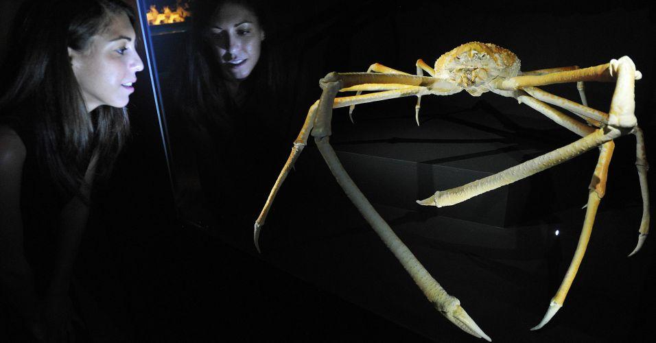 Caranguejo-aranha Japones