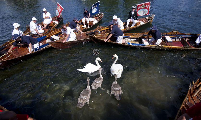 Censo de cisnes em Londres