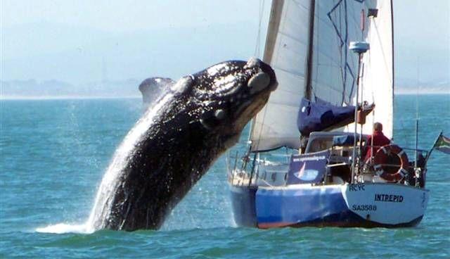 Baleia salta em barco