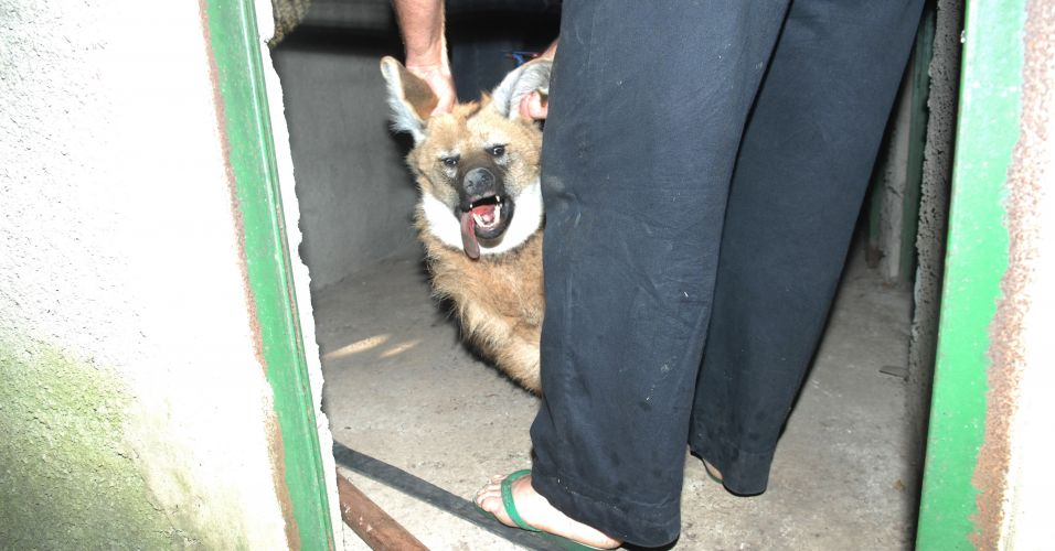 Lobo-guará em Campinas