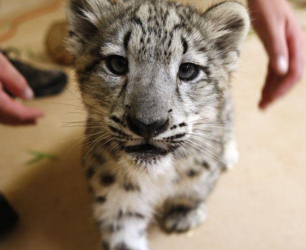 Filhote de leopardo-das-neves