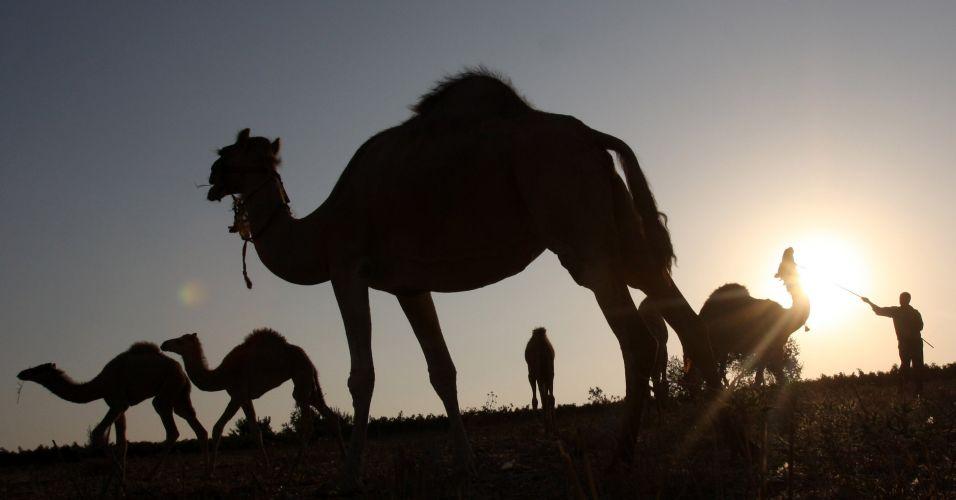 Camelos na Palestina