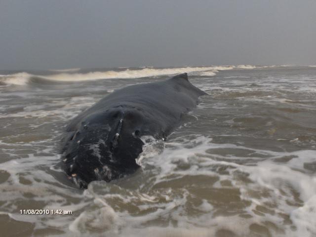 Baleia encalhada no RS