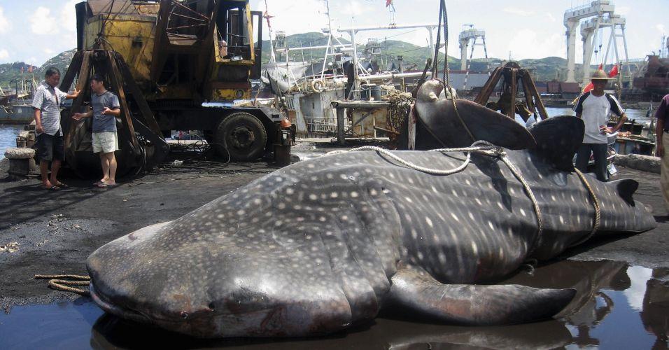 Tubarão-baleia na China