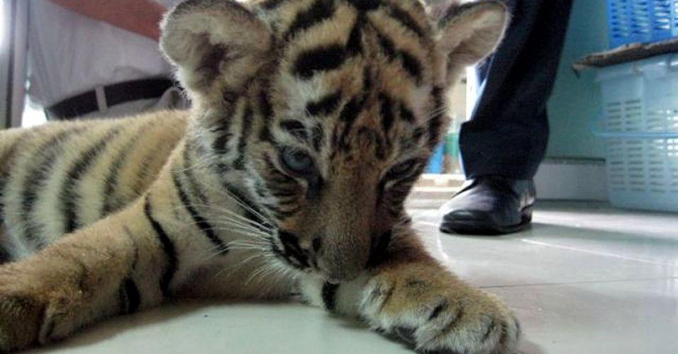 Tigre na bagagem