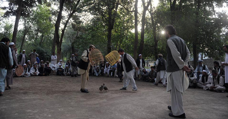 Luta de perdizes no Afeganistão
