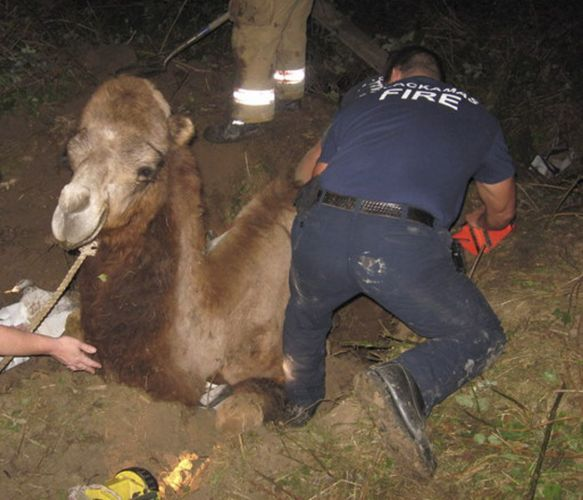 Camelo preso nos EUA