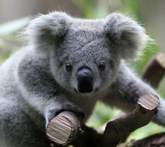 Koala na Alemanha