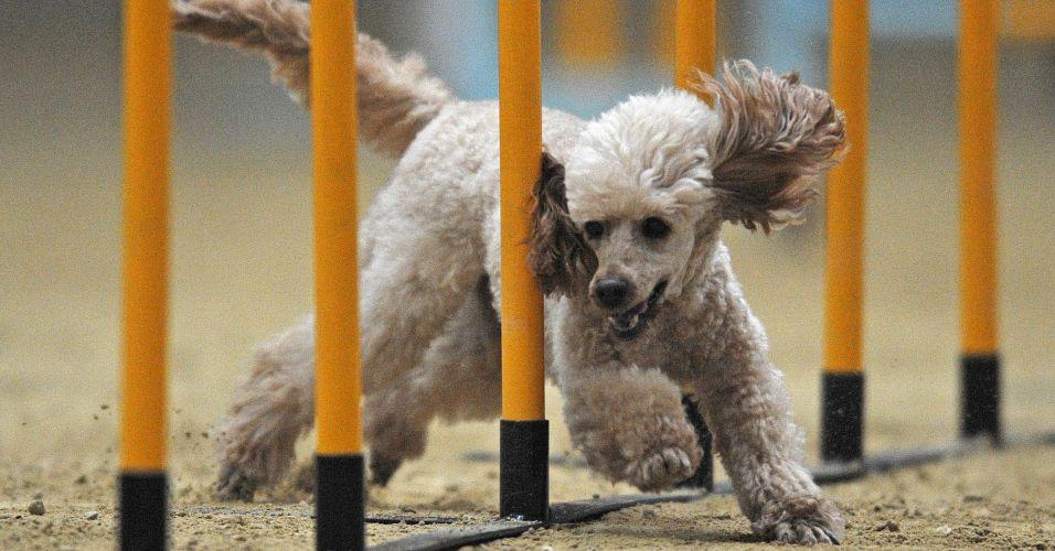 Apresentação canina