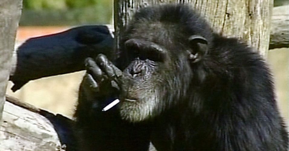 Morre chimpanzé na África do Sul