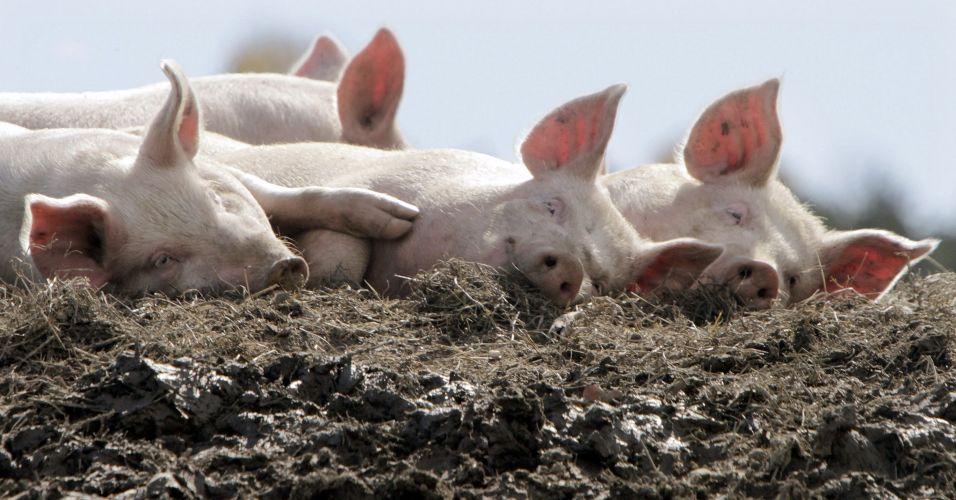 Porcos na Alemanha