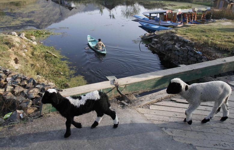 Cabras na Caxemira