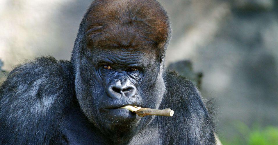 Gorila fumante na Austrália