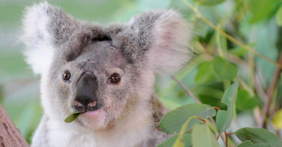 Coala baleado se recupera na Austrália