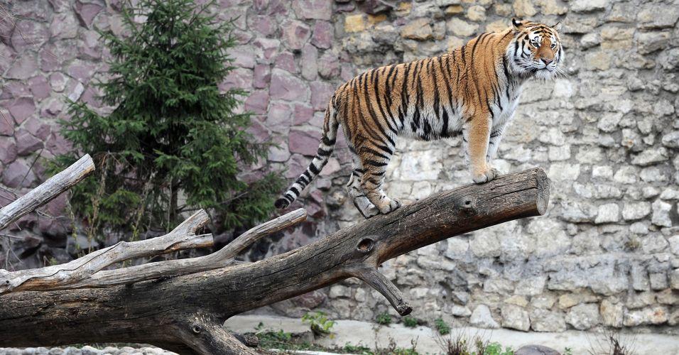 Tigre em zoológico da Rússia
