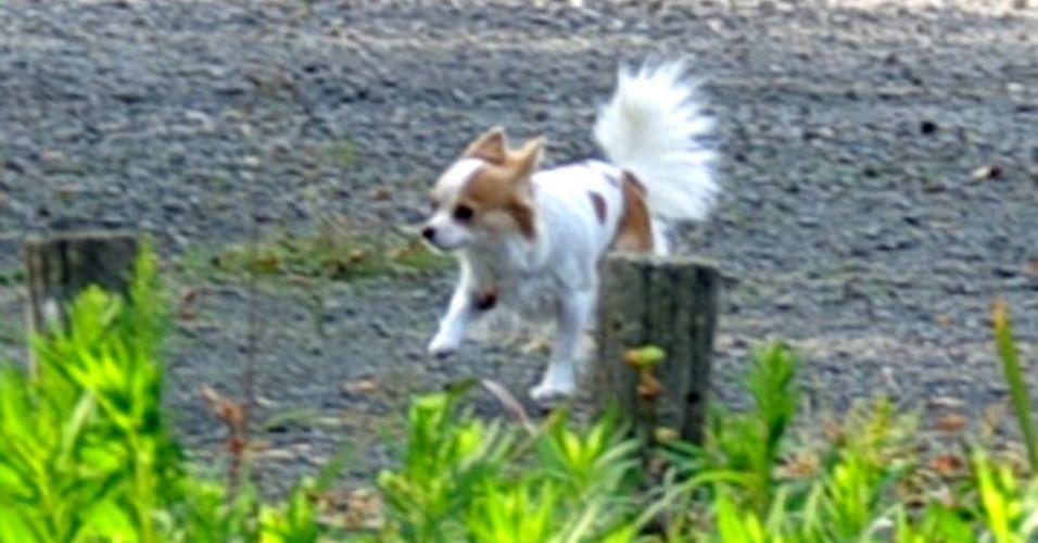 Pequeno cão no Japão