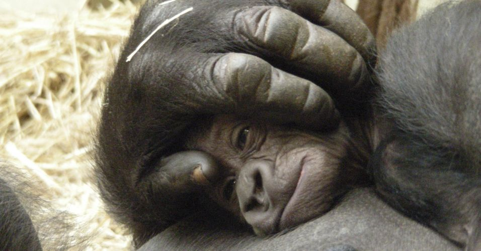 Gorila em Londres