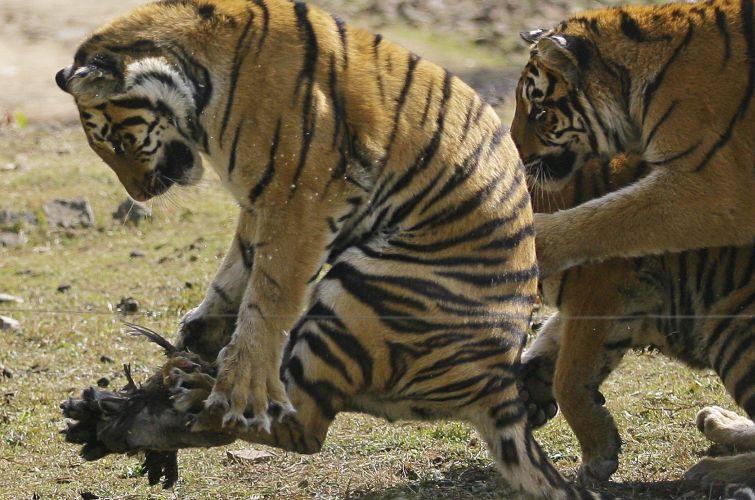 Tigres na China