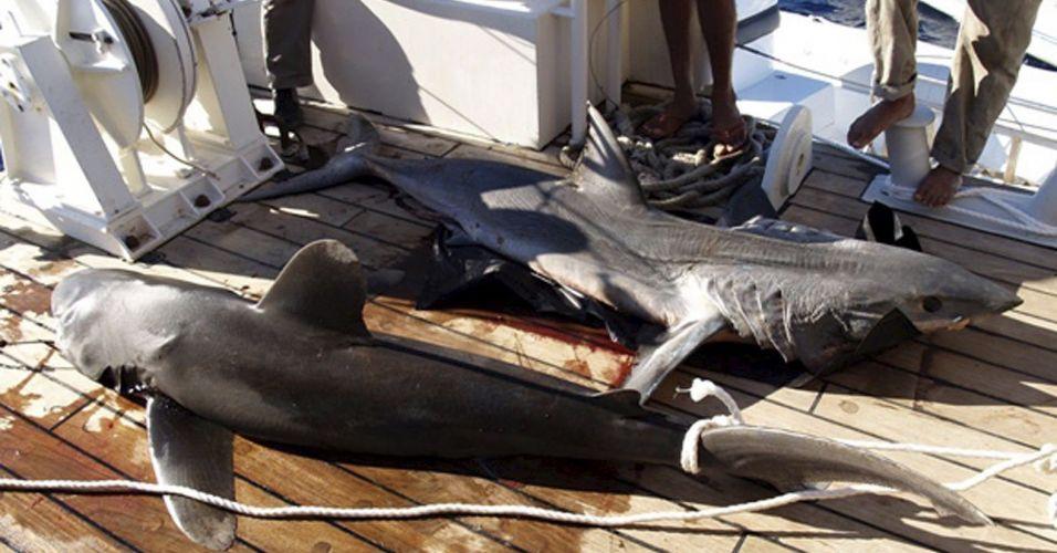 Tubarões no Egito