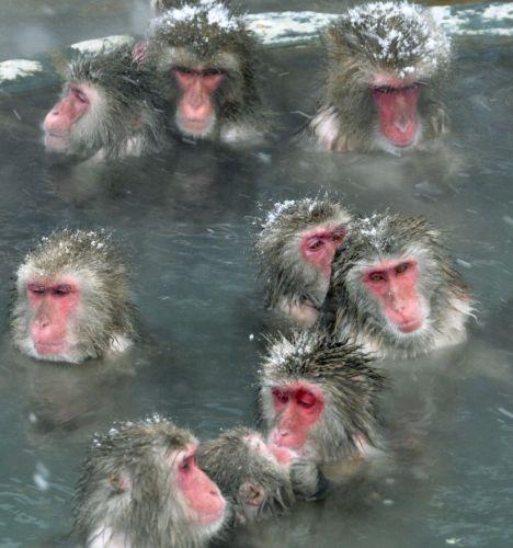 Macacos no Japão