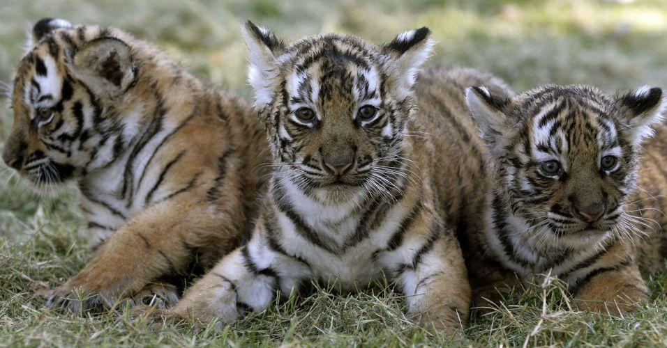 Tigres de Bengala no Uruguai
