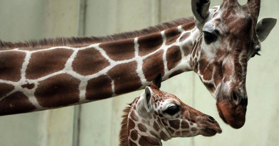 Girafas na Alemanha