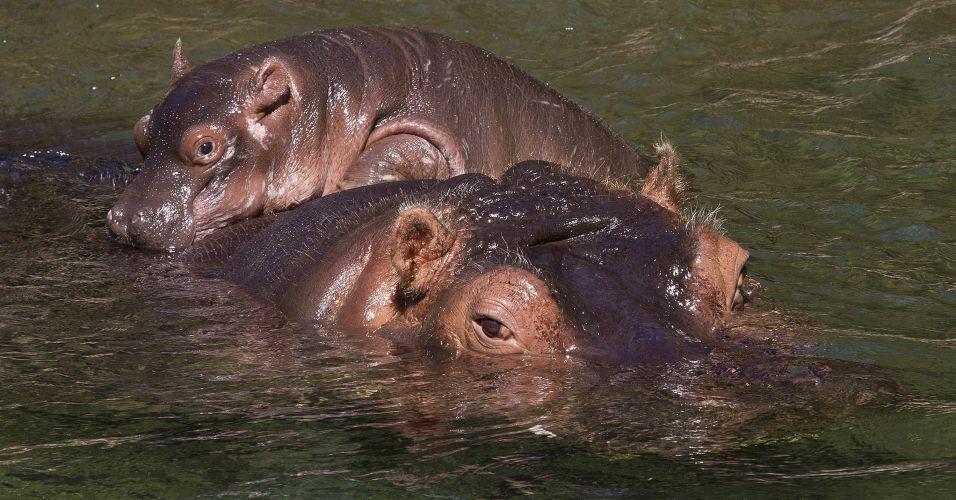 Hipopótamo nos EUA