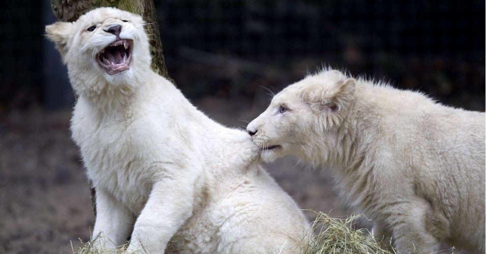 Leões raros na Holanda