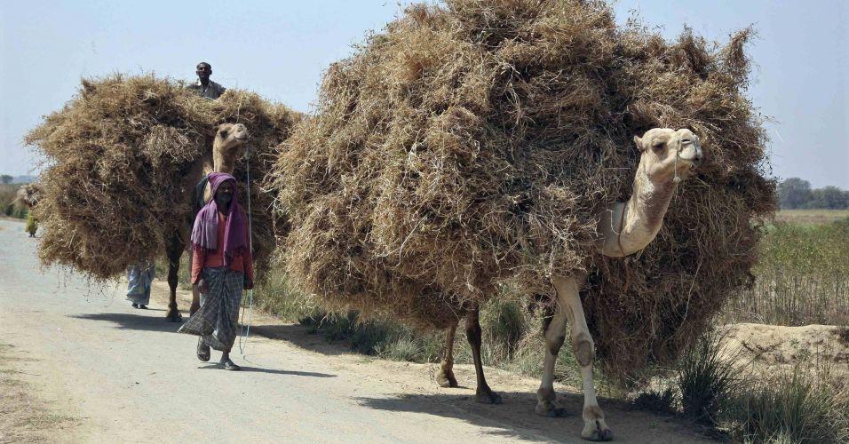Camelos na Índia