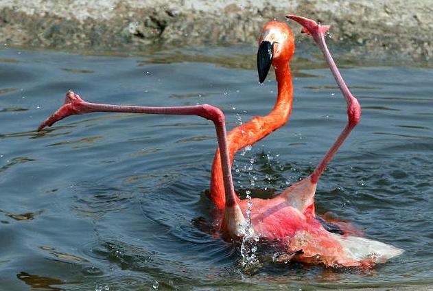 Flamingo atrapalhado